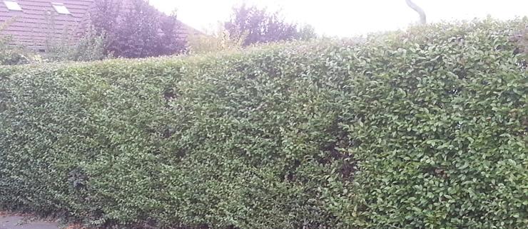 Grenzabstand bei heckenpflanzen hecken als sichtschutz - Heckenpflanzen bilder ...